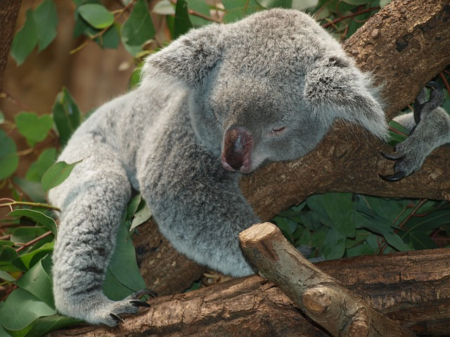 Koala asleep in tree